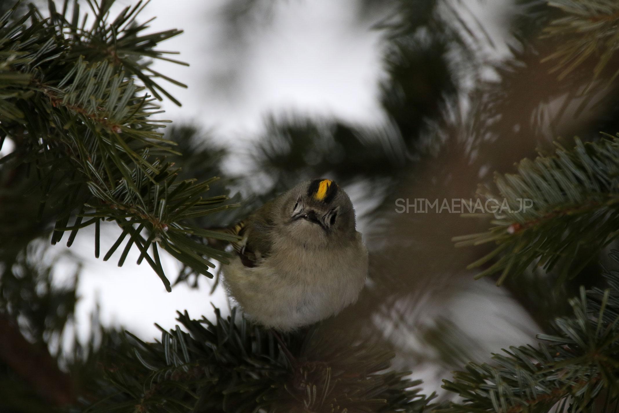 日本で見られる鳥のなかで1番小さいキクイタダキ(菊戴)