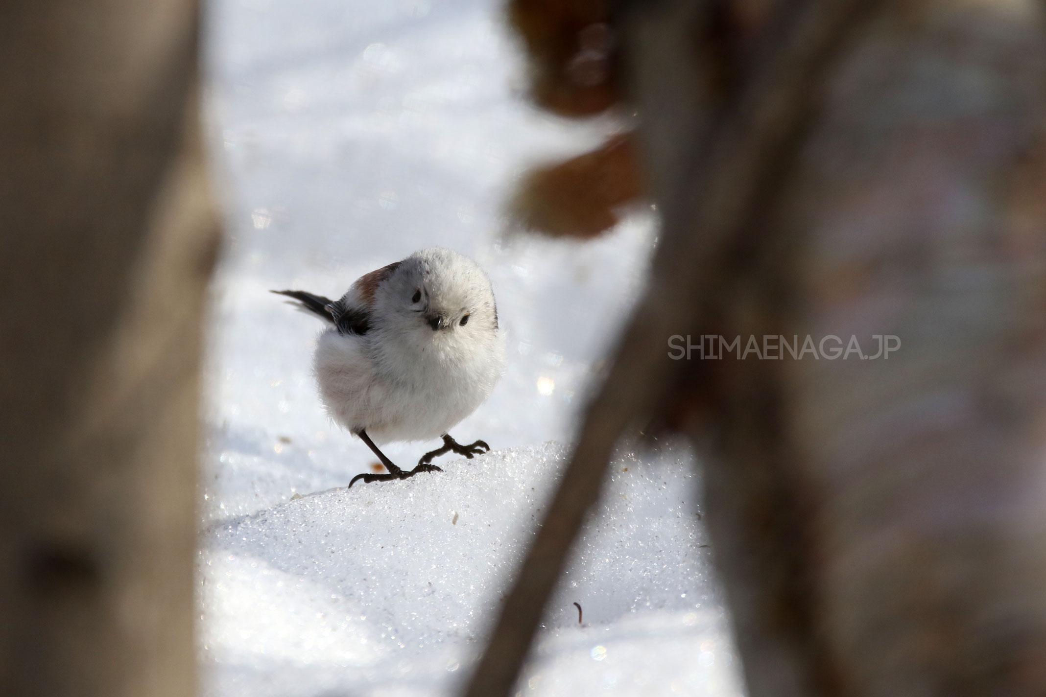 雪上のシマエナガ
