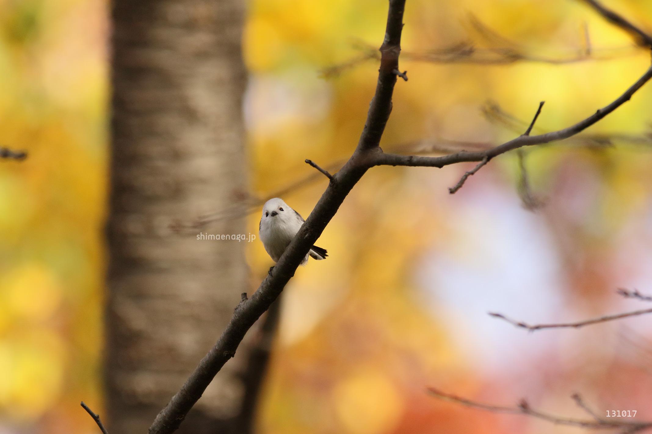 秋のシマエナガ